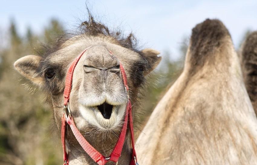 Я не верблюд