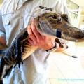 Флорида, крокодил